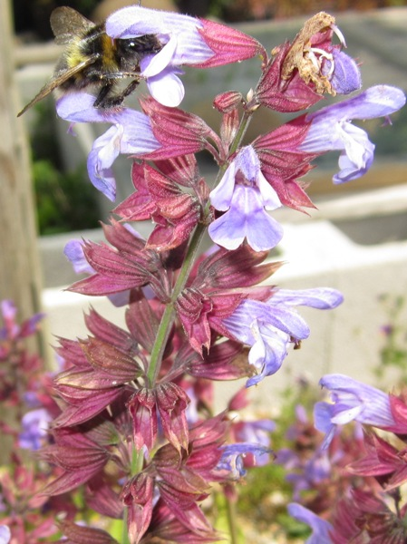 organic-salvia-officinalis