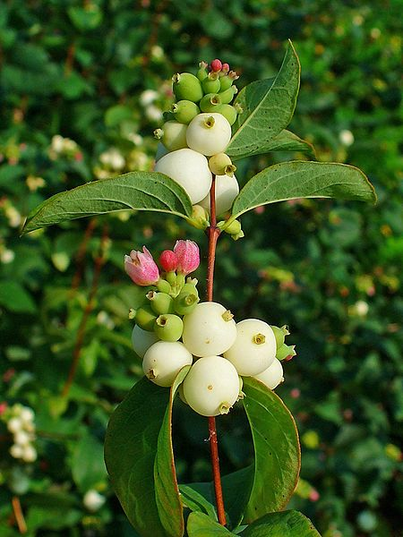 Prunus-cerasifera-myrobalan